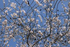 Almond tree with flowers february royalty free stock images