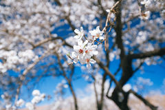 Almond tree flowers blosson and blue sky Royalty Free Stock Photo