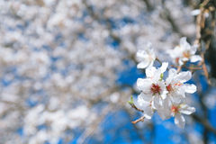 Almond tree flowers blosson and blue sky royalty free stock image
