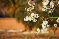 Almond tree flowers blosson and moroccan kasbah Royalty Free Stock Image