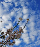 Almond tree flowers with blue sky with clouds background Stock Image