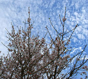 Almond tree flowers with blue sky with clouds background Stock Photo