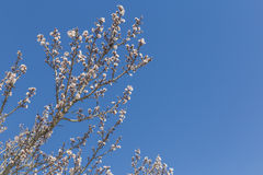 Almond tree flowers, blue sky, spring background. Almond tree flowers, blue sky, bees, spring background Stock Photography