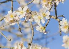 Almond tree flowers, blue sky, spring background Stock Photos