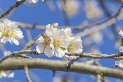 Almond tree flowers, blue sky, spring background Stock Image