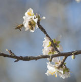Almond tree flowers, blue sky, spring background. Almond tree flowers, blue sky, bees, spring background, butterfly Royalty Free Stock Images