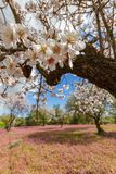 Almond tree flowers on a branch shot in early spring in Cyprus Stock Photos
