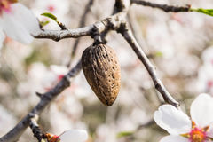 The almond tree flowers with branches and almond nut close up Stock Images