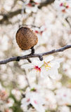 The almond tree flowers with branches and almond nut close up Royalty Free Stock Images