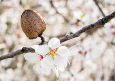The almond tree flowers with branches and almond nut close up Stock Photo