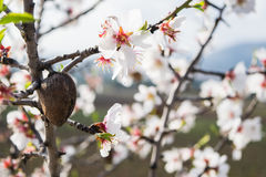 The almond tree flowers with branches and almond nut close up Stock Photography