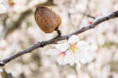 The almond tree flowers with branches and almond nut close up Stock Image