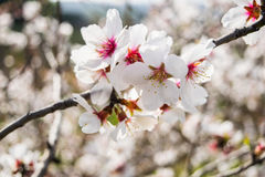 The almond tree flowers with branches and almond nut close up Royalty Free Stock Photography