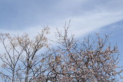 Almond tree. With flowers in city park Royalty Free Stock Image