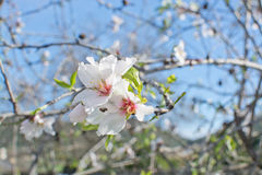 Almond tree flowers. Closeup in Mallorca, Balearic islands, Spain in February Royalty Free Stock Photo