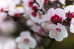Almond Tree Flowers in a Cloudy Day stock photos