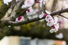Almond Tree Flowers in a Cloudy Day royalty free stock image