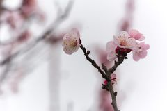 Almond Tree Flowers in a Cloudy Day royalty free stock photos