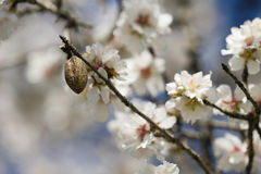 Almond tree flowers Stock Images