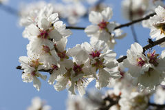 Almond tree flowers Stock Photography