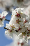 Almond tree flowers Stock Photo