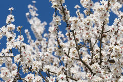 Almond tree flowers Royalty Free Stock Photography