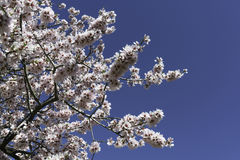 Almond tree flowers Royalty Free Stock Image