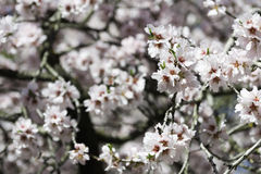 Almond tree flowers. Part of a flowering almond tree in early Spring in a park in Madrid, Spain. Shallow DOF Royalty Free Stock Images