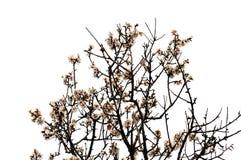 Almond tree flowers spring season Royalty Free Stock Photos