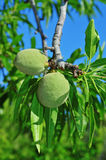 Almond tree with fruits Stock Photo