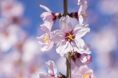 Almond tree in full bloom Stock Images