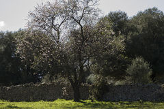 Almond tree. In full bloom Stock Images