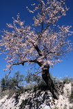 Almond tree in full bloom, Alicante, Spain Royalty Free Stock Images