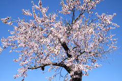 Almond tree in full bloom, Alicante, Spain close up Stock Photography
