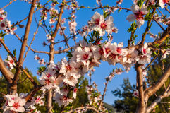 Almond tree in full bloom. Stock Image