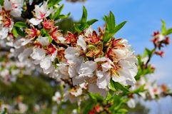 Almond tree in full bloom Royalty Free Stock Image