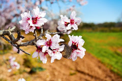Almond tree in full bloom Stock Image
