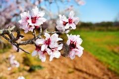 Almond tree in full bloom Stock Image