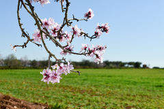Almond tree in full bloom Royalty Free Stock Photo