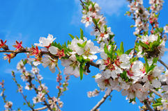 Almond tree in full bloom Stock Photography
