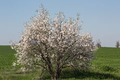Almond tree in a green field Royalty Free Stock Photography