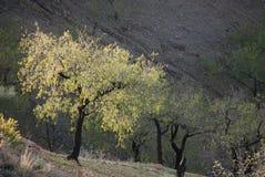 Almond tree growing on almond plantation Stock Photos