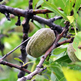 Almond in the tree. Almond hanging of the branch Stock Images