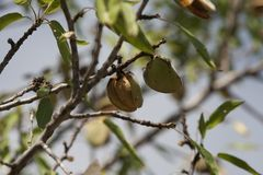 Almond tree for harvest Royalty Free Stock Photo