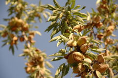 Almond tree at the harvest time Royalty Free Stock Photography