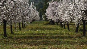Almond tree II Stock Photos