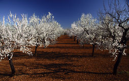 Almond tree II. Almond tree in flower with blue sky of bottom Stock Image
