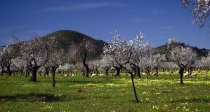 Almond tree II Stock Images
