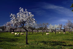 Almond tree II. Almond tree in flower with blue sky of bottom Stock Photo