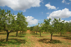 Almond tree orchard Royalty Free Stock Photography